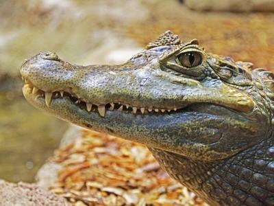 鱷魚要吃朋友!女童跳牠背上挖雙眼搶命