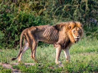 「前任獅王」活活被餓死!失去領導地位瘦成皮包骨 生前慘狀被拍下