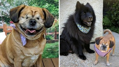 巴哥雙眼失明 大狗自願成為專屬導盲犬…結果一起迷路了