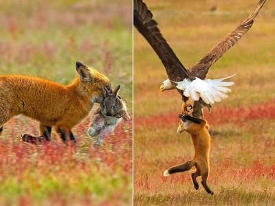 到手的晚餐「飛了」!老鷹搶狐狸嘴裡的兔兔...結果3隻動物飛上天