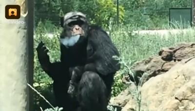 故意拋菸!遊客歡呼:猩猩抽菸了
