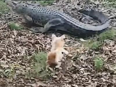 荒唐飼主愛拍「家犬VS.鱷魚」!第一次躲過尖牙,第二次被咬死拖走