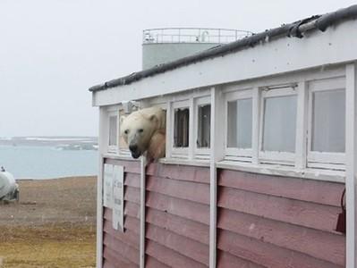 飢餓北極熊偷吃失敗!撬開廚餘倉庫被抓包 居民抱怨:麥擱來啊