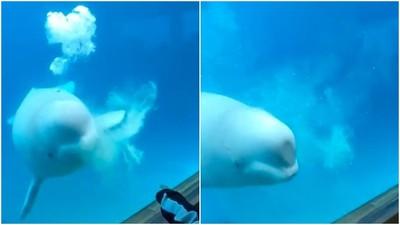 頭擠玻璃還吐泡泡 幼白鯨撞牆Say Hello...錯!牠在向你求救
