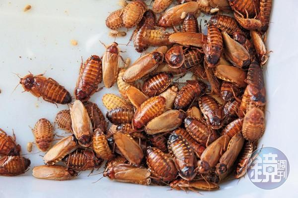 黃金蟑螂原是杜比亞的突變種,但在謝瑋晏的培育下族群日漸龐大。