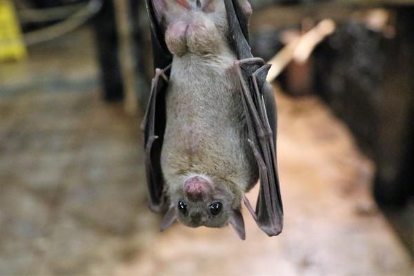 研究:蝙蝠體內含干擾素 可保護自身並加速病毒增殖