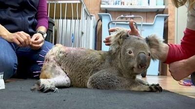無尾熊毛屁屁插滿針 摳阿拉車禍腿脫臼 獸醫用針灸還真的有用