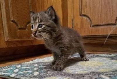 小浪貓不是喵喵叫 原來是猛獸啊
