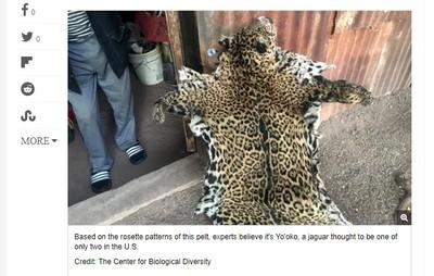 美洲豹變成毛皮 全美剩最後1隻