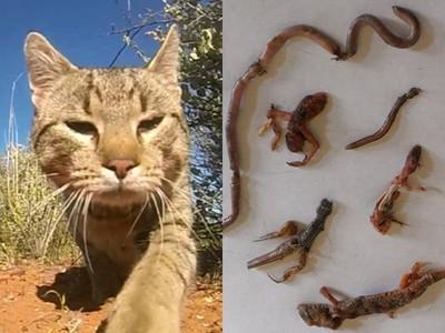 嘴饞喵星人=澳生態「頂尖殺手」 每年吃掉180萬隻蜥蜴,滿地殘肢