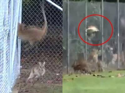 80隻袋鼠撞斷頭自殺!棲息地被徵收蓋樓 失去自由精神崩潰