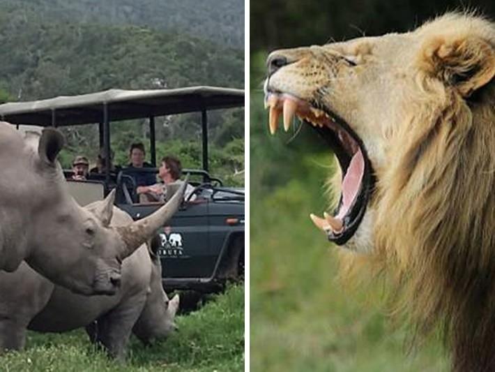 替天行道!盜獵者得意斬斷犀牛角 回程被獅群拖走吞下肚