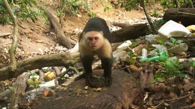 捲尾猴進入石器時代!舉體重1/2石頭砸開貝殼 拿樹枝驅趕毒蛇
