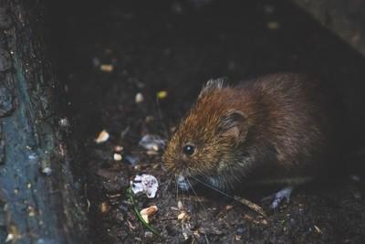 童話是騙人的!城市鼠飲食穩定健康 鄉下鼠營養不良還得跟人搶