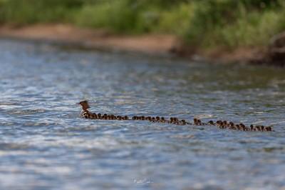 秋沙鴨帶56隻寶寶 秒成超長龍舟