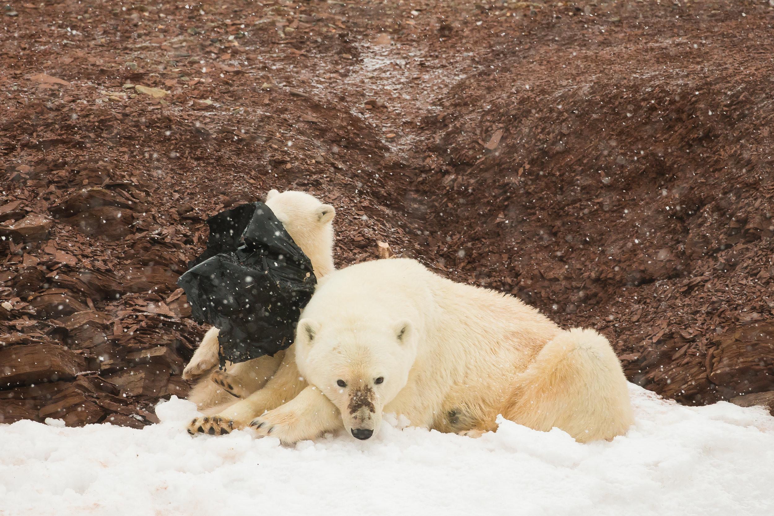 ▲▼ 挪威極北群島北極熊分食垃圾袋。(圖/翻攝自KEVIN MORGANS WILDLIFE PHOTOGRAPHY)