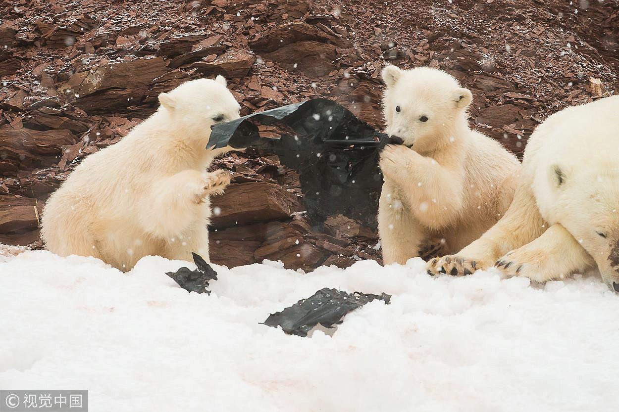 ▲▼ 挪威極北群島北極熊分食垃圾袋。(圖/CFP)