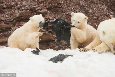 餵食快餓死的北極熊是犯法的!3大原因分析:問題根本沒解決都是徒勞
