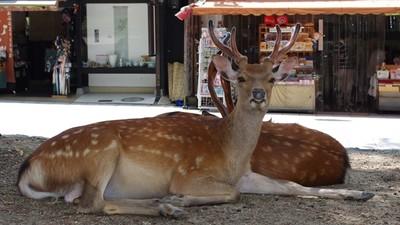 光吃鹿仙貝超沒營養!奈良小鹿吃不飽 體重比野生鹿少20公斤