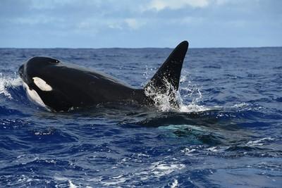 海泳遭3隻虎鯨包圍 她嚇到發抖