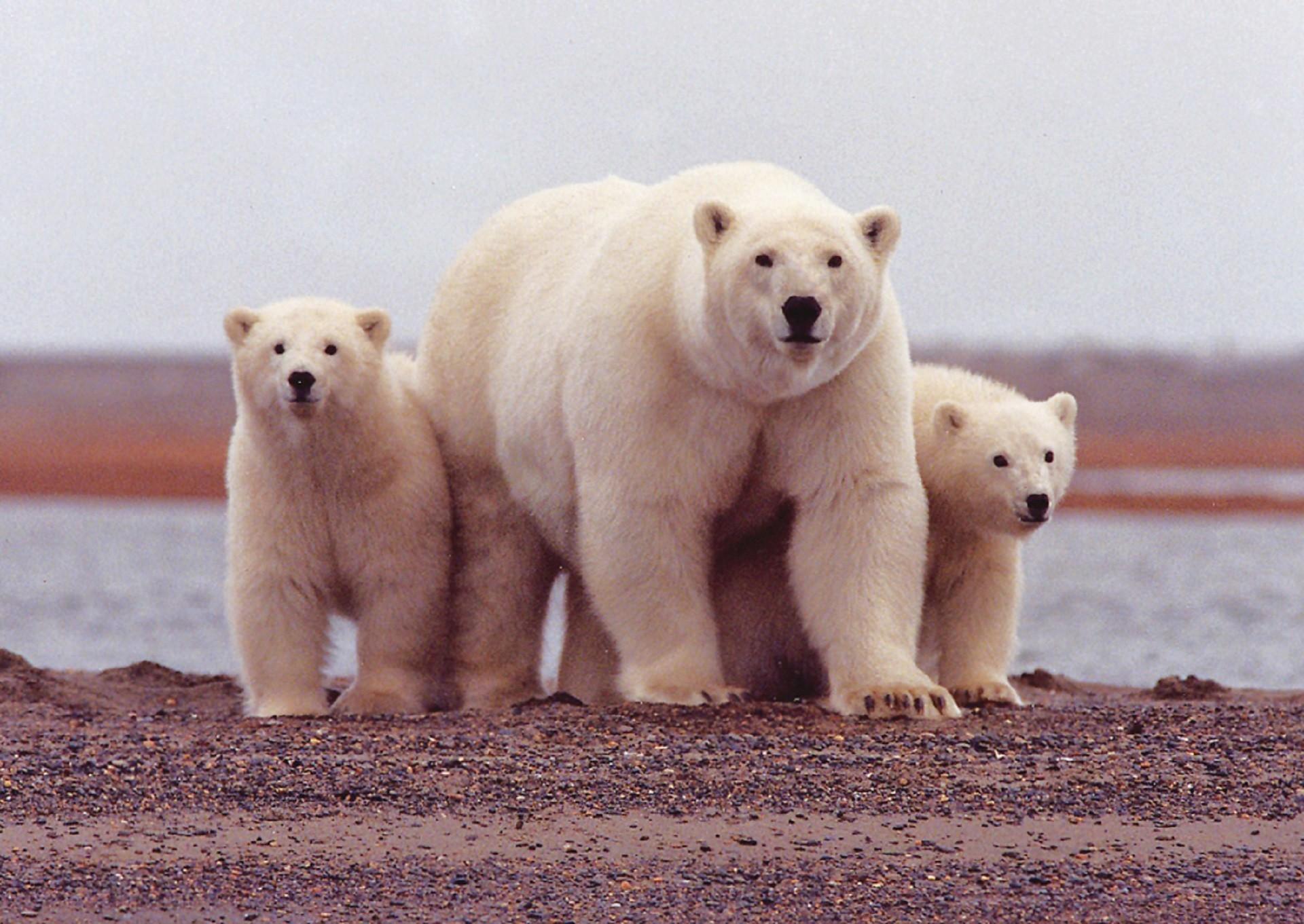 ▲▼北極熊。(圖/免費圖庫pxhere)