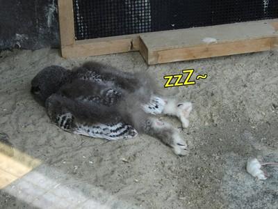 雪鴞寶寶「熱到仆街」!垂直倒地睡姿超怪...旁邊老鼠也翻肚