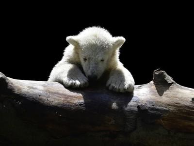 北極熊悲歌!幼熊「拿垃圾袋當玩具」..攝影師心碎:我們是加害者