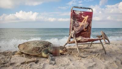 又是人類害死的!瀕危海龜遭廢棄沙灘椅勒斃 屍身斷兩節命喪海灘