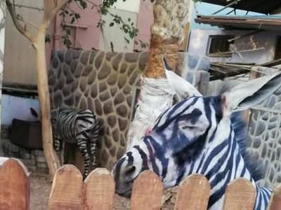 斑馬飆汗「黑條紋糊掉了…」學生參觀動物園抓包造假,本尊是隻驢