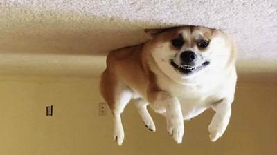 「氣球狗」慵懶升空!毛孩變形緊貼天花板 逆重力攝影席捲社群