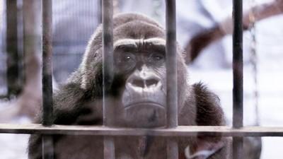 最悲傷動物園!猩猩遭囚30年日夜含淚面壁 園區全用鐵籠區隔