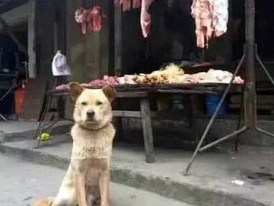 順手一餵換四年忠心!大黃狗「每天守肉攤」 提醒老闆:客人來啦