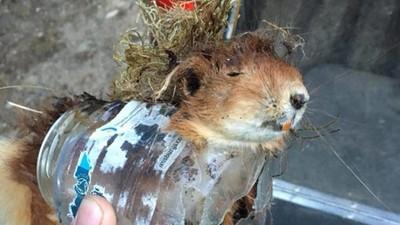 寶特瓶割破喉嚨!稀有紅松鼠卡死掙扎,嚥下最後一口奪命水