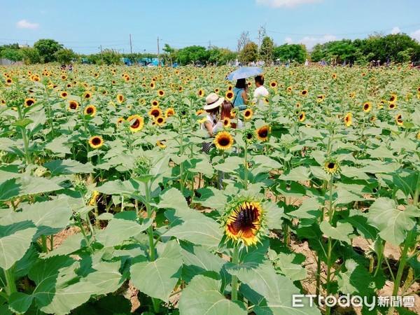 ▲向陽農場向日葵迷宮。(圖/向陽農場提供)
