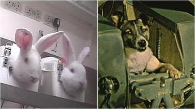 史上4種最殘酷「動物實驗」 兔眼注射保養品 萊卡狗太空中休克死