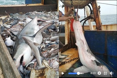 捕到大白鯊 漁夫「立刻放生」被讚爆