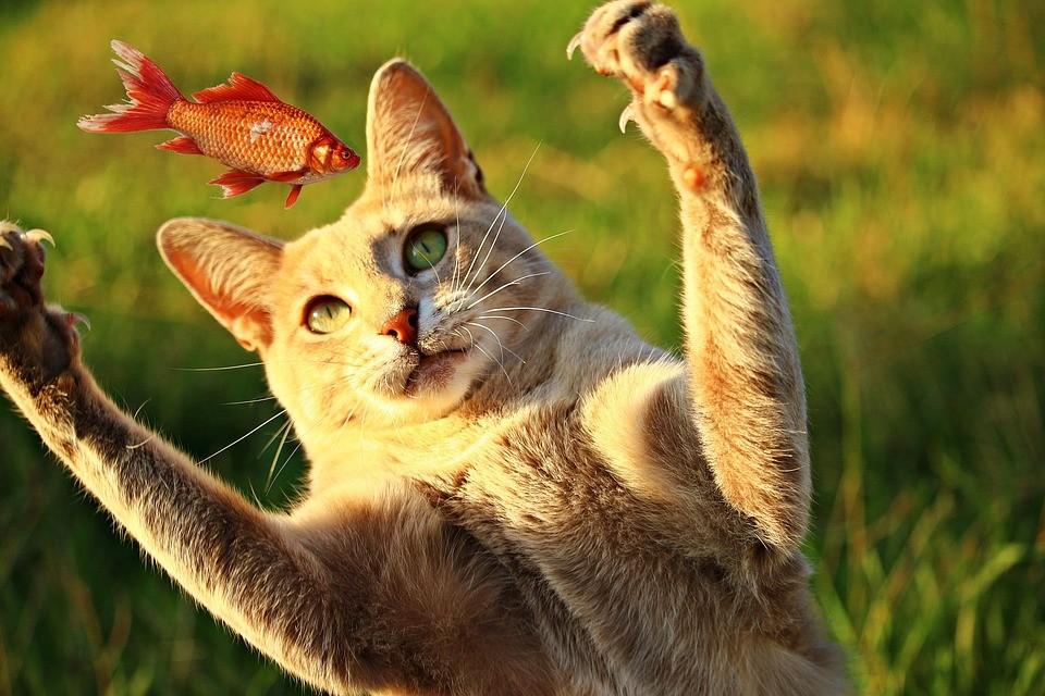 ▲貓咪,喵喵,喵星人,喵皇,吃魚,抓魚。(圖/取自免費圖庫Pixabay)