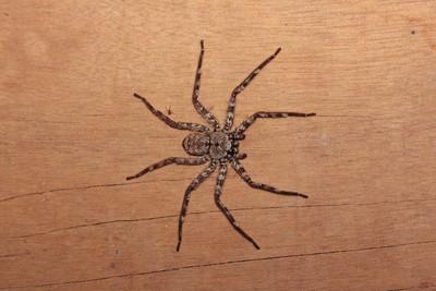 被蜘蛛咬傷不就醫 男3天身亡