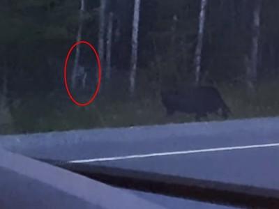 拍到「咕嚕」現身樹叢追野鹿!女駕駛鏡頭拉近:牠四肢貼地爬行