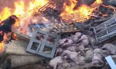 非洲豬瘟疫情 OIE:中國有能力控制