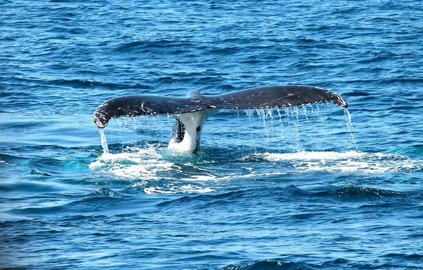 紐西蘭北島「25頭鯨魚擱淺」! 志願者等待漲潮救援