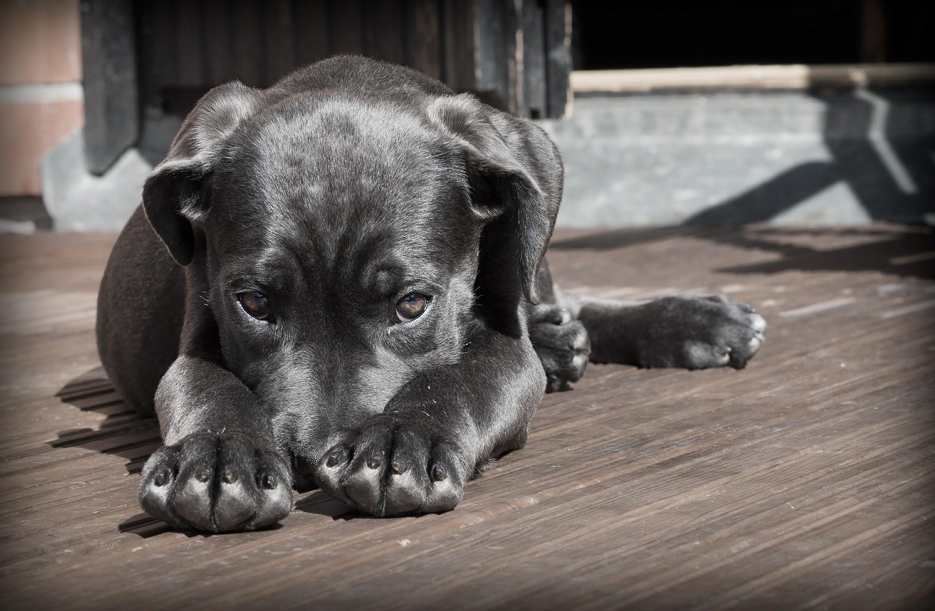 ▲▼黑狗,狗狗,汪星人,寵物,動物(圖/取自免費圖庫Pixabay)