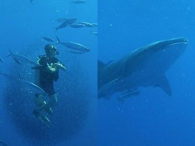 潛水員意外成「小魚救世主」!上萬魚群突包圍,成功逃過鯨鯊大嘴
