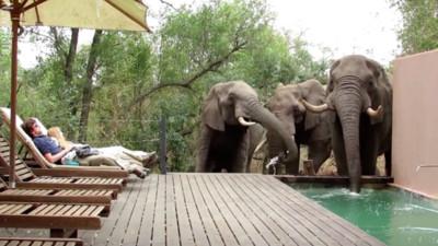 三巨象路過飯店...鼻子伸進泳池「借喝一下水」 遊客冒冷汗裝沒事