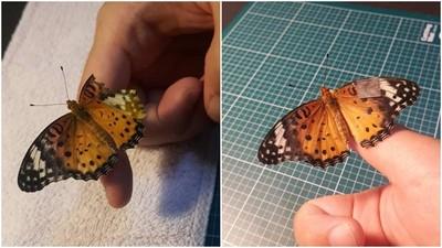 單邊翅膀剩一半 怪醫網友幫蝴蝶動手術 神之修復又可以飛了!