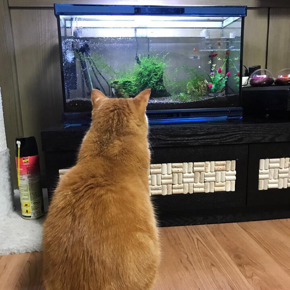 ▲▼愛看魚缸的貓(圖/翻攝自Instagram@still_dawn)