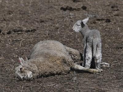小羊守著母屍啜泣不走!綿羊攜子來不及走出乾旱平原 熱死倒地