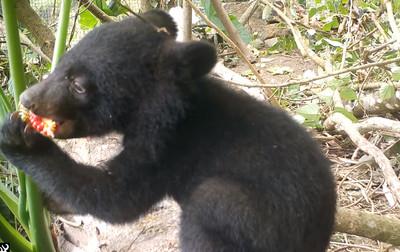 小黑熊呆萌嗑漿果 最快明年野放