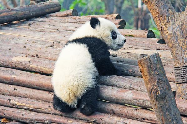 ▲熊貓寶寶。(圖/取自免費圖庫CC0)