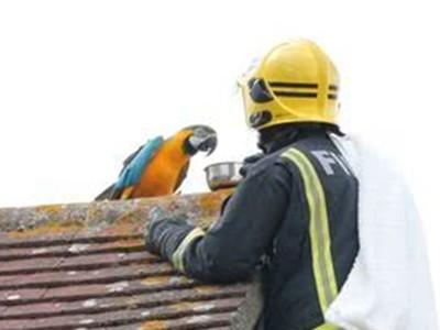 見到消防員怒飆FxxK!鸚鵡受困屋頂三天 主人:拍謝啦牠只會那句